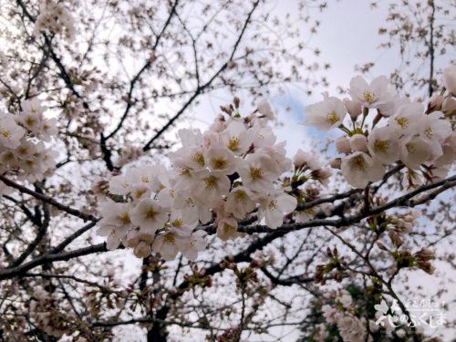 福島県福島市 新浜公園の桜 2020年3月31日 APC_0005