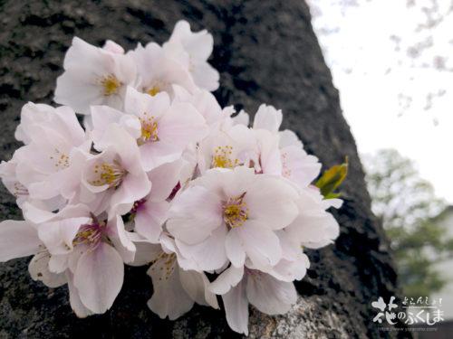 福島県福島市 新浜公園の桜 2020年3月31日 APC_0006