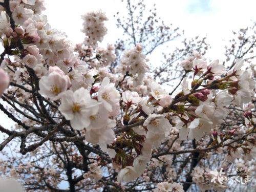 福島県福島市 新浜公園の桜 2020年3月31日 APC_0007