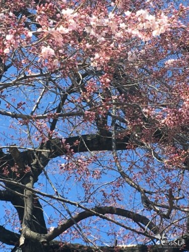 福島県立橘高等学校の桜 2020年3月23日