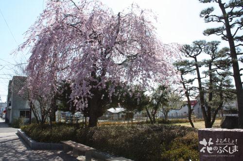 2020年4月3日福島県立橘高校 校門側しだれ桜