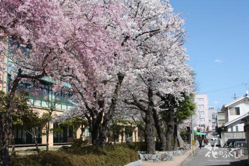 2020年4月3日福島県立橘高校 桜並木