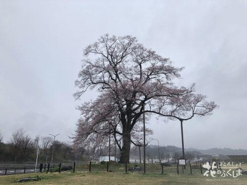 福島県二本松市 万燈桜 2020年4月1日 下り線から全体