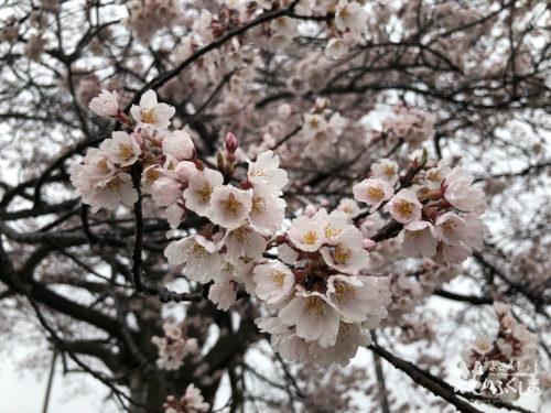 福島県二本松市 万燈桜 2020年4月1日 花アップ