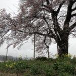 福島県二本松市 万燈桜 2020年4月1日 下り線から