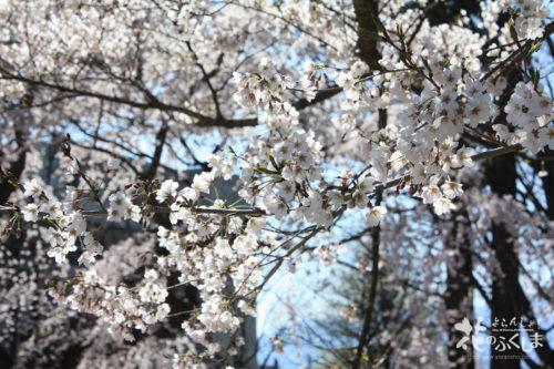 2020年4月3日 信夫山公園内児童遊園の桜_7013