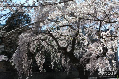 2020年4月3日 信夫山公園内児童遊園の桜_7014
