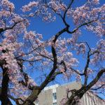 2020年4月3日福島地方裁判所のシダレザクラ_7038