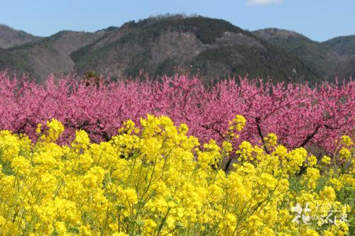 2020年4月9日福島県福島市飯坂 花ももの里 写真2