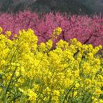 2020年4月9日福島県福島市飯坂 花ももの里 写真3