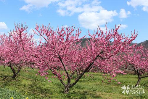 2020年4月9日福島県福島市飯坂 花ももの里 写真4