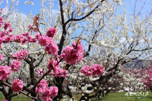 2020年4月9日福島県福島市飯坂 花ももの里 写真5