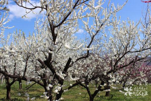 2020年4月9日福島県福島市飯坂 花ももの里 写真7