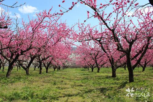 2020年4月9日福島県福島市飯坂 花ももの里 写真8