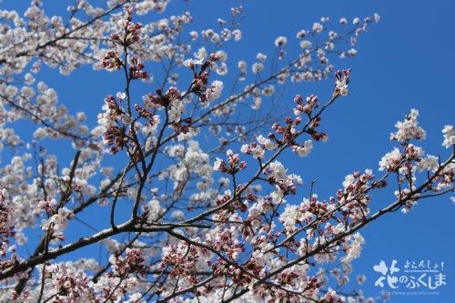 福島県二本松市 県立霞ヶ城公園(国指定史跡 二本松城跡)の桜 2020年4月10日 写真5