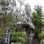 福島県福島市 中野不動尊の枝垂れ桜 2020年4月1日