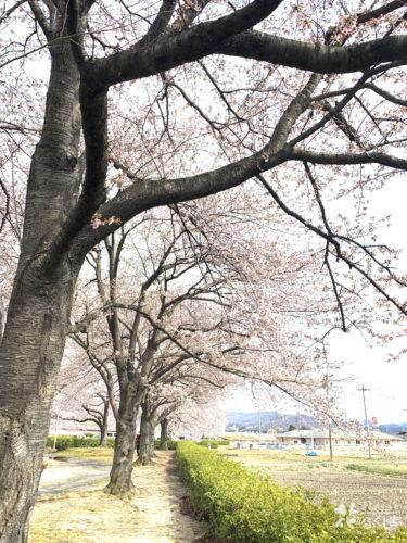 福島県福島市 荒川桜づつみ公園 2020年4月2日 IMG_5918