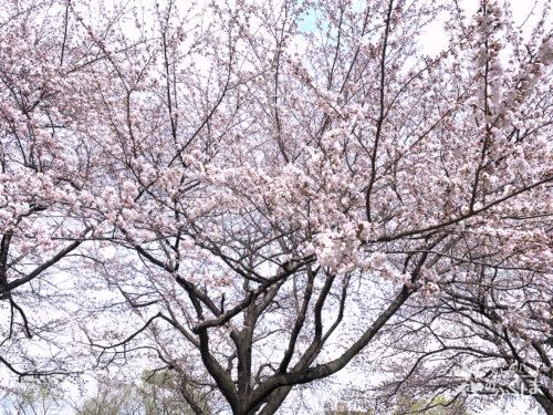 福島県福島市 荒川桜づつみ公園 2020年4月2日 IMG_5921