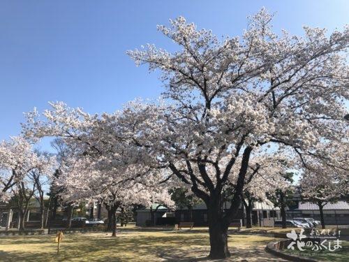 福島県福島市 新浜公園の桜 2020年4月3日 IMG_8950