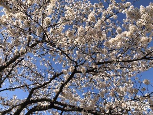 福島県福島市 新浜公園の桜 2020年4月3日 IMG_8951
