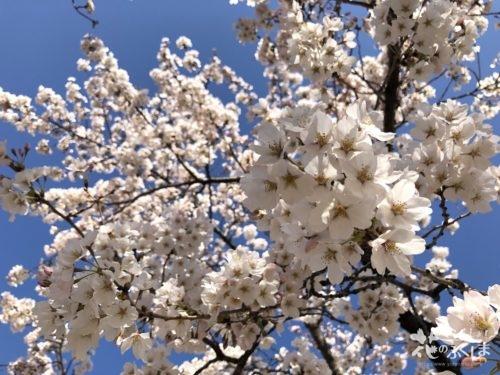 福島県福島市 新浜公園の桜 2020年4月3日 IMG_8953