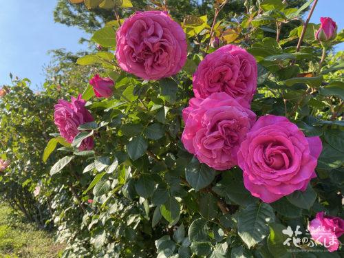 福島県福島市あづま総合運動公園香りのバラ園_2020年5月30日_画像4_5991