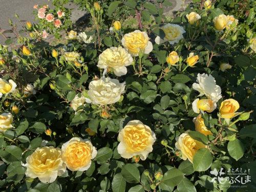 福島県福島市あづま総合運動公園香りのバラ園_2020年5月30日_画像