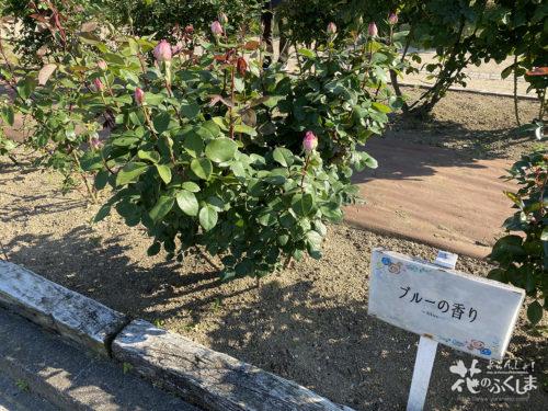 福島県福島市あづま総合運動公園香りのバラ園_2020年5月30日_画像9_6010