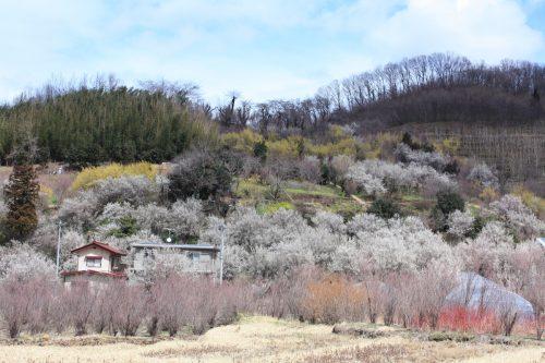 福島県福島市 花見山公園 2018年3月23日 IMG_0236