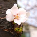 福島県福島市 新浜公園 2018年3月29日 IMG_0249
