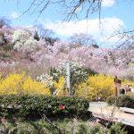 福島県福島市 花見山公園 2018年3月30日 IMG_0297