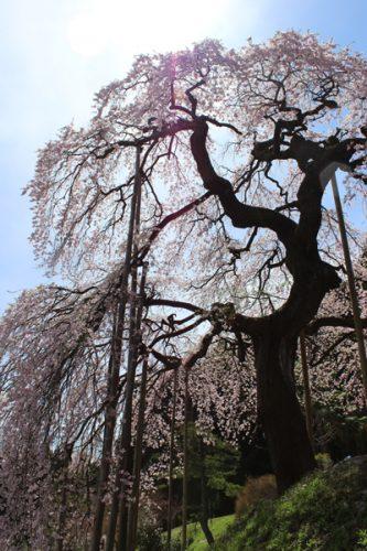 福島市 慈徳寺 種まき桜 2017年4月20日 5