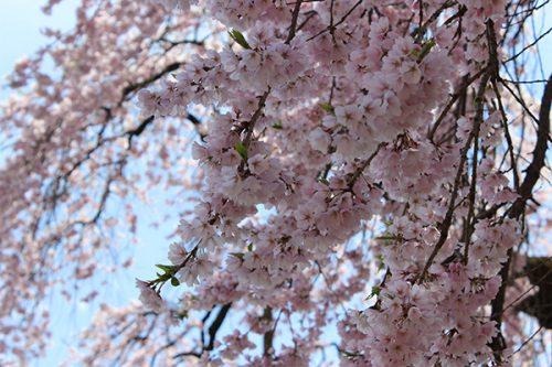 福島市 慈徳寺 種まき桜 2017年4月20日 4