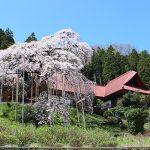 福島市 慈徳寺 種まき桜 2017年4月20日 1