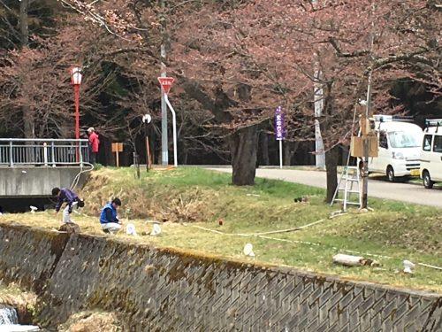 福島県猪苗代町 観音寺川の桜 2018年4月16日 IMG_3116