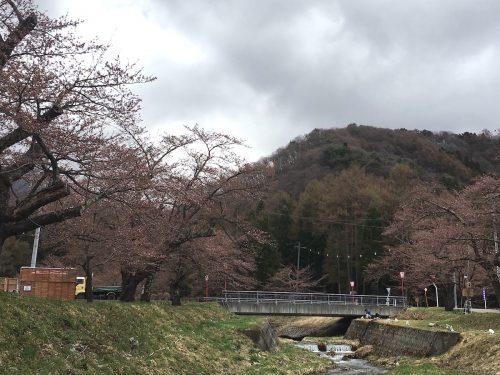 福島県猪苗代町 観音寺川の桜 2018年4月16日 IMG_3120