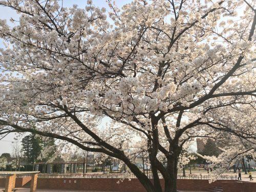 福島県福島市 野田中央公園 2018年4月3日 IMG_3127