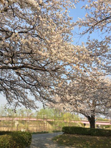 福島県福島市 荒川桜づつみ公園 2018年4月3日 IMG_3144