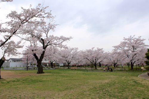 福島県福島市 乙和公園 2018年4月6日 IMG_7971