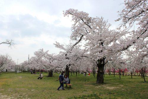 福島県福島市 花桃の公園 2018年4月6日 IMG_7977