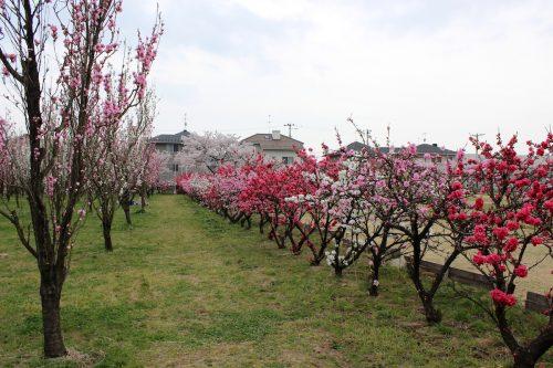 福島県福島市 花桃の公園 2018年4月6日 IMG_7978