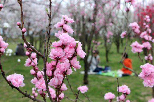 福島県福島市 花桃の公園 2018年4月6日 IMG_7980