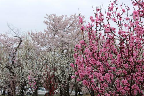 福島県福島市 花桃の公園 2018年4月6日 IMG_7981