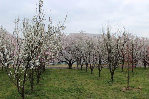 福島県福島市 花桃の公園 2018年4月6日 IMG_7982