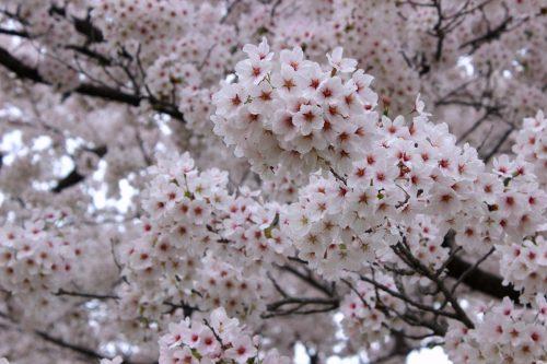 福島県福島市 花桃の公園 2018年4月6日 IMG_7983