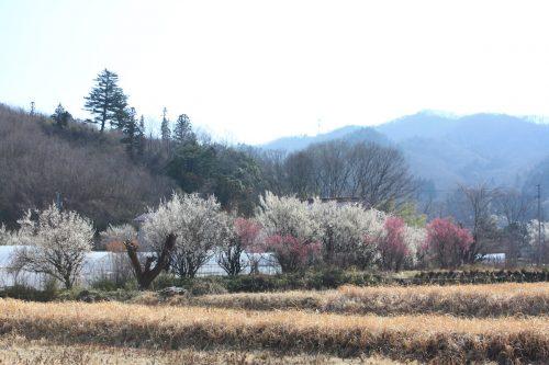 福島県福島市 花見山公園 2019年3月13日 IMG_5661