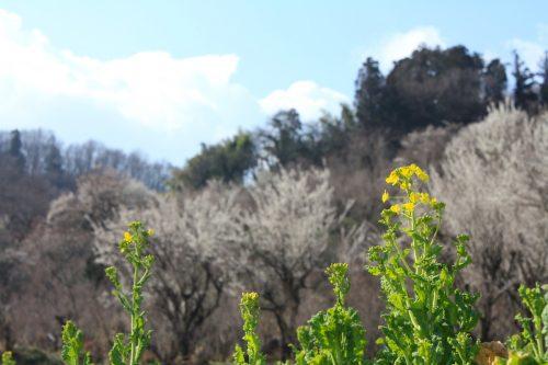 福島県福島市 花見山公園 2019年3月13日 IMG_5664
