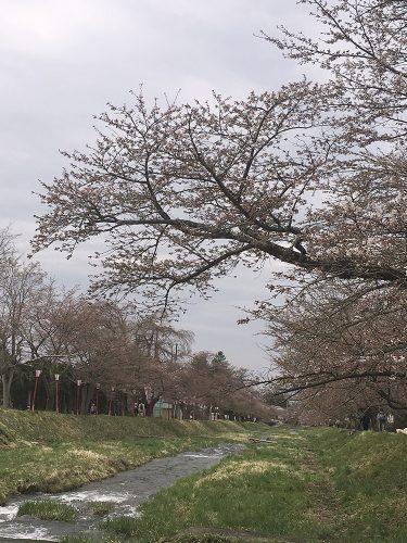 2019年4月24日猪苗代町川桁、観音寺の桜_3658