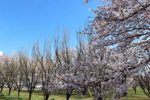 福島県福島市 花桃の公園(飯坂学習センター)2019年4月9日 IMG_0724
