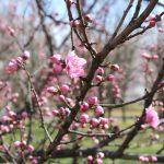 福島県福島市 花桃の公園(飯坂学習センター)2019年4月9日 IMG_0725